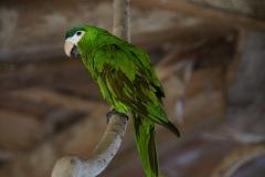 Cobalt-Wing Parakeet