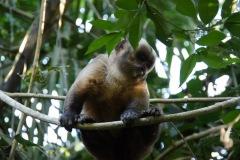 Cappuchino-Monkey