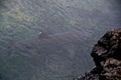 White tipped sharks - Weissrspitzen-Riffhaie