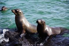 Galapagos-Seelöwen
