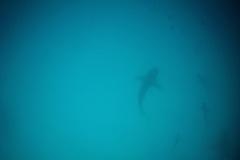 Weissspitzen-Haie - White-tipped sharks