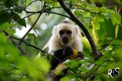 Weissschulterkapuziner - mono cara blanca