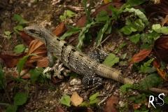 Auf dem Weg (1 Mile, 1.6Km) zu den Ruinen von Xunantunich, finden wir einerseits eine in der Baumkrone schlafende Familie Brüllaffen und diesen Green Iguana, der Ausschau nach allfälligen Gefahren hält.