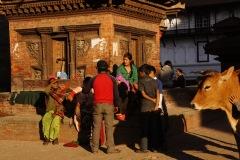 Kühe, Rinder und Kälber sind im hinduistischen Glauben heilig und dürfen sich meist frei bewegen - sei es in den Gassen, auf befahrenen Strassen oder an den heiligsten Orten...