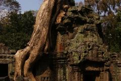 Kampf der Natur - Menschheit in Ta Prohm. Dieser Tempel wurde ausgewählt, um ihn im Zustand zu belassen, wie er einst vorgefunden wurde. Da der Einsturz des ganzen Tempels droht, wird mehr und mehr stabilisiert und halt dennoch restauriert.