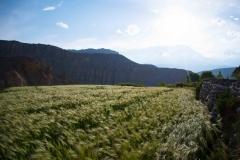 "barley is like ""green gold"" in this arid region"