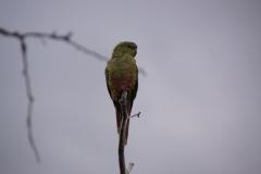 Smaragdsittich (Papageienart)