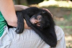 Spider Monkey - Klammeraffe: 3 Tiere wurden zwischenzeitlich aufgenommen. Sie fanden alle als verwaiste Jungtiere. Mitunter Klammeraffen werden von den im Amazonas lebenden Völker gejagt und gegessen. Bald sollen die drei Tiere in eine andere Umgebung gebracht werden, wo sie Anschluss zu einer Gruppe ihrer Art finden können.