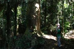 Toborochi - Baum, welcher auf seiner ganzen Länge einen gleichmässig dicken, beachtlichen Stamm aufweist!