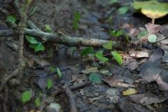 fleissige Leaf-cutter Ameisen