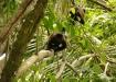 zwei ausgewachsene Howler-Männchen am ausspannen - Brüllaffen