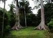 Sogenannte Twin-Ceibia (Zwillingsceibia) - riesige Bäume die an den Wurzeln zusammengewachsen sind.