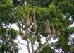 Nester der Montezuma Oropendula - wunderbare Vögel, leider haben wir sie nur von Weitem entdecken können