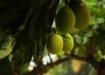 Maxhapan - Brotfruchtbaum, welcher unserer Cabaña den Namen gibt