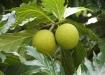 Maxhapan - Brotbaumfrucht