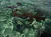 atlantische Ammenhaie