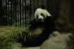 hungrig nach Bambus