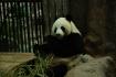 Endlich ein lebender Panda gesehen - in China hatten diese unseren Besuch ja verschlafen!