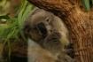 Einer der Koala-Bande ist wenigstens halbwegs wach..