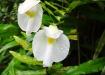 Orchideenartige Pflanzen
