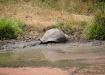 Galapagos-Riesenschildkröte Santa Cruz