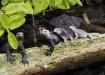 Meerechsen - Marine Iguanas