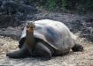 Galapagos-Riesenschildkröte - zählt ca. 120 Lebensjahre!