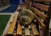 Seelöwe auf der Sitzbank am Puerto Ayora