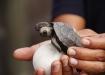 frisch geschlüpfte, angehende Riesenschildkröte