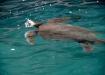 Meeresschildkröte beim Luft schnappen