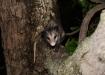 nachtaktiver fauchender Unruhestifter...ein Opossum!