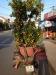 Für einen guten Start ins neue vietnamesische Jahr gehört ein Zwergorangenbaum zur Dekoration zu Hause - wie der Weihnachtsbaum bei uns!
