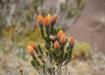 """Chiquirahua - Aus dieser Pflanze wird auch Tee gemacht, der auch gegen die Höhenkrankheit wirken soll..  Das Kraut wirkt diuretisch (man muss viel """"bislen"""").."""