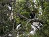 Black and White Collobus Monkeys