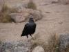 Eine Krähenartige Vogelkreatur :-)