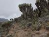 die grossen - ausserirdisch wirkenden - Pflanzen sind die sog. Senecio kilimanjari (zu deutsch: Riesenkreuzkraut oder Senezien)