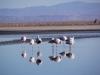 Flamingos in der Laguna Chaxa