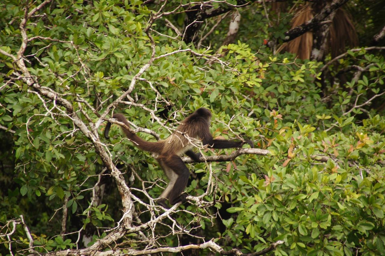 der flinke Klammeraffe (spider monkey)