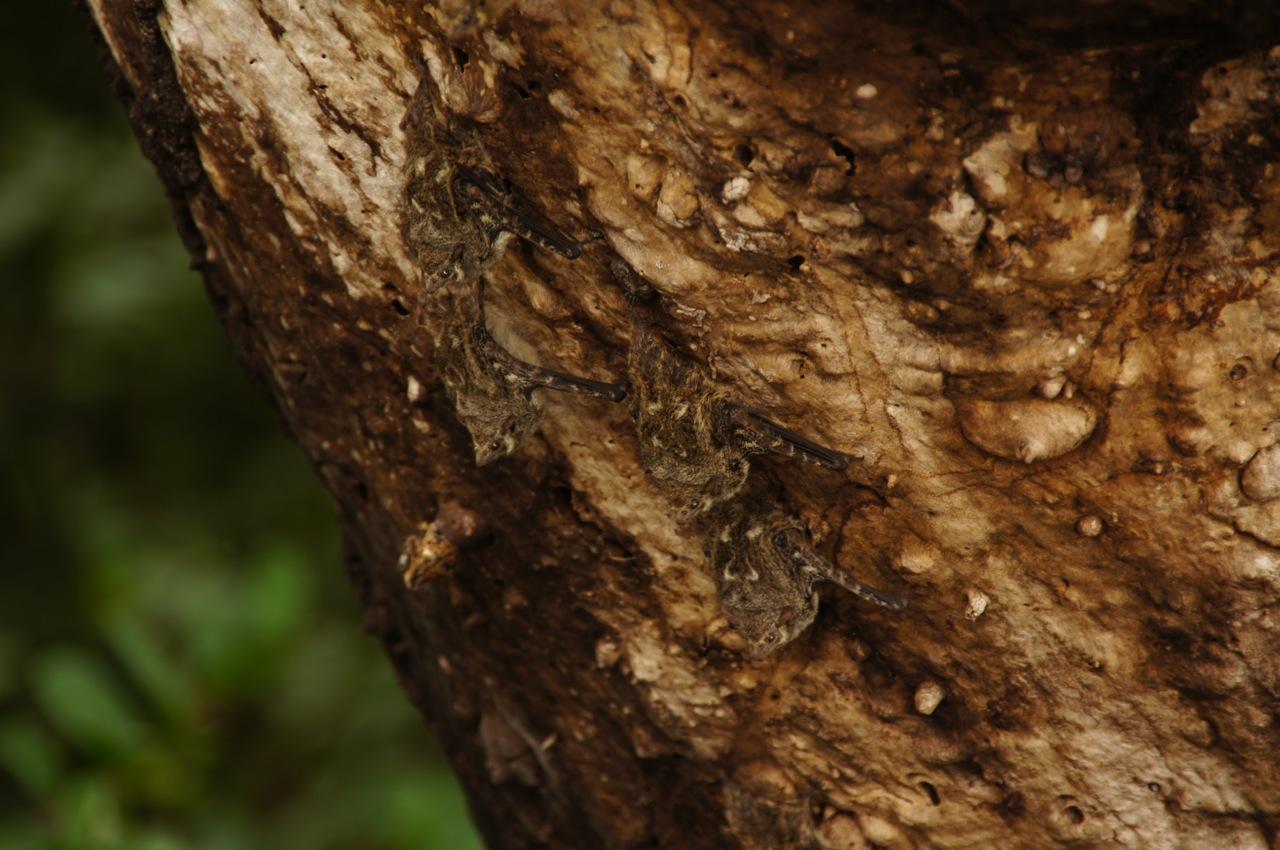 es gebe mehr als 100 Fledermausarten hier in Belize