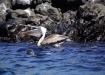 Pelikan beim Verschlingen eines Fischs - ein Seelöwe kuckt ihm gierig zu...