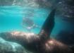 Galapagos-Seelöwe