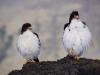 Weisshals(-kehl) Caracara - White-throated caracara - Phalcoboenus albogularis