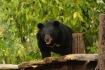In einem Bärenpark beim Wasserfall Kuang Si leben 18 Tiere, die aus der Gefangenschaft gerettet wurden...