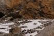 Himalaya-Glanzfasan, der nepalesische Nationalvogel (hier nur Weibchen sichtbar)