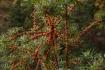 Sanddorne - Hippophae Salicifolia