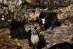 die ersten Yaks gesichtet - sie trifft man über 3000m an