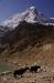 einmal mehr Yaks, die zuvor genüsslich im eiskalten Wasser des Gletschersees gebadet hatten!