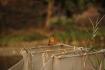 King fisher - Eisvogel