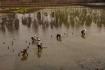 Die Bewirtschaftung der Reisfelder geschieht hier alles in Handarbeit!