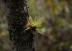 eine von unzähligen Epiphyten